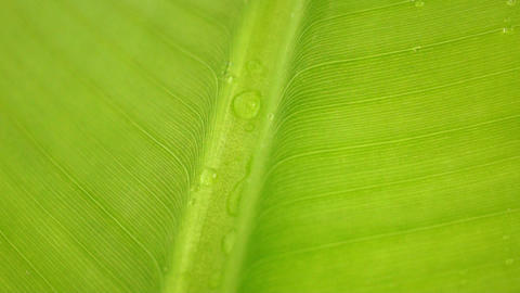 Banana Leaf Stock Video Footage