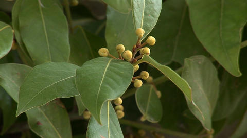laurel tree Stock Video Footage