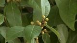 laurel tree Footage