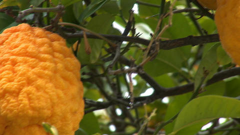 lemon tree b Stock Video Footage