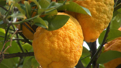 lemon tree b Stock Video Footage
