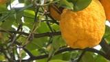 lemon tree b Footage