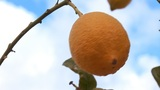 Lemon Tree D stock footage