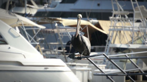 Pelican Stock Video Footage