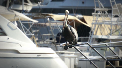 Pelican Stock Video Footage