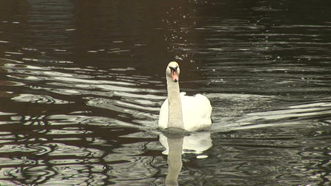 Swan Stock Video Footage