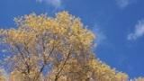 Treetop shaken wind 01 Footage