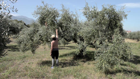 Farmer who check the quality of olives from the olive plantation from the field  Footage