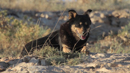 Feral dog resting Footage