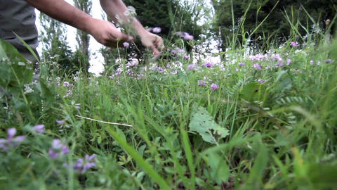 Man collects purple wild flowers in a high bouquet 15 Footage