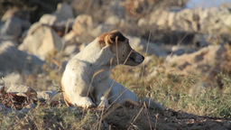 Feral dog lying on the ground Footage