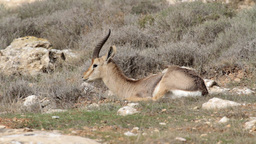 Israeli mountain gazelle Male Footage