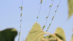 Ringed necked parakeet Footage
