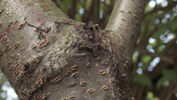 Ant's crawling along a tree HD stock footage Footage