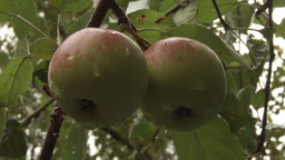 Young small green apple close up HD stock footage Footage