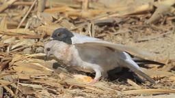 Feral pigeon feeding Footage