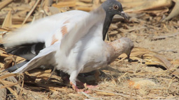 Feral pigeon Courtship and eating Footage