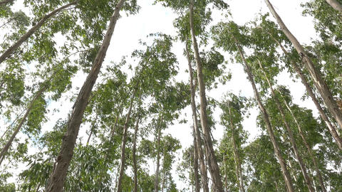 Eucalyptus leaf green tree against sky very high with sun light and environment Footage