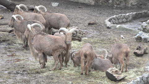 Family Of Bighorn Rams. 4K UltraHD, UHD stock footage