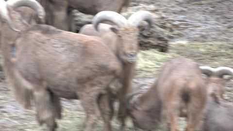 Family of Bighorn Rams. 4K UltraHD, UHD Footage