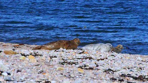 Sea lions on the beach, Scotland Archivo