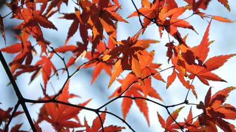 Autumn Leaves / Fall Colors / Close Up - Fix ビデオ