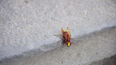 Red Wasp Isolated on a Stone Wall Bild
