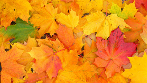 Bright and vivid colours of maple foliage in autumn, many leaves lie on ground GIF
