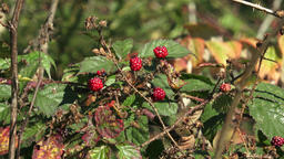 Rubus ulmifolius - Mature blackberries on the bush on autumn Stock Video Footage