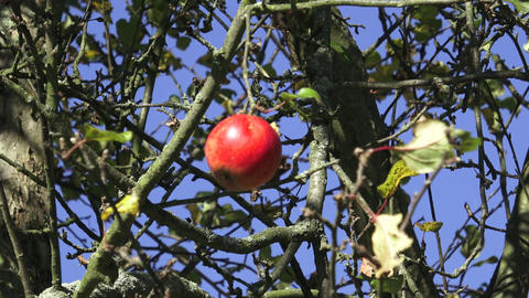 Crisp red apple on a branch Footage