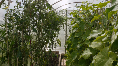 Tomatoes and cucumbers in the greenhouse Footage