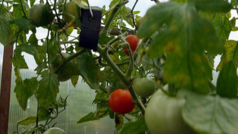 Tomatoes of different varieties and colors grow in the greenhouse Footage