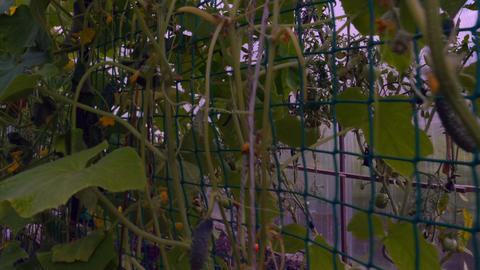 Cucumber vines in the greenhouse Footage