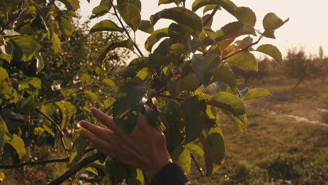 closeup hands through the leaves fruit tree Footage