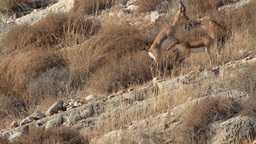 Israeli mountain gazelle mating Footage