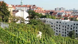 vineyard (grape wine) - city (buildings) in the background - blue sky - sunny Footage