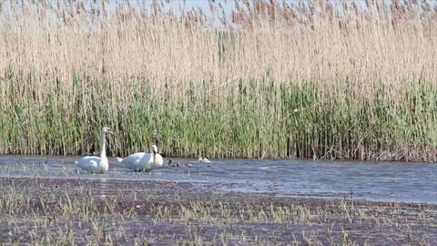 swan Footage