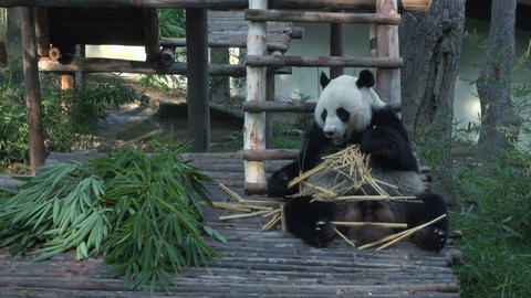 Funny Giant Panda Eating Bamboo Footage