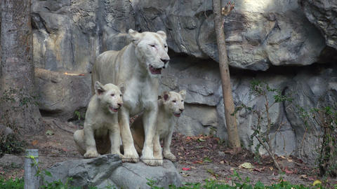 4K Video Of A Funny Lion Family, Mother With Her Kids stock footage