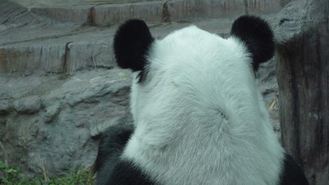 medium shot of a Funny Giant Panda Eating Bamboo Live Action