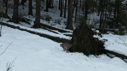 Eurasian Lynx ( Lynx lynx) walking over a fallen tree Footage