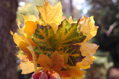 Beautiful autumn leaves glow in the sun. A bouquet of autumn lea Photo