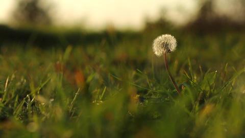 Dandelion in a meadow Footage