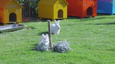 Two white rabbits eat grass Archivo