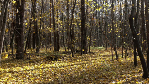 Falling yellow leaves in autumn forest Footage