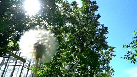 dandelion and Cottonwood fluff in the urban sky Footage