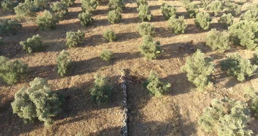 Olive Trees Aerial Footage Archivo