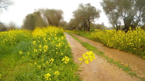 a dirt road in the old olive garden, rape blooms in the rain in the winter in Footage
