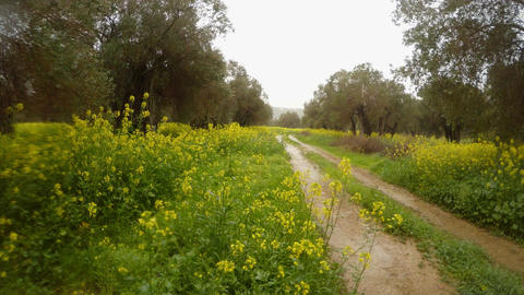 old olive trees in the pouring rain in the field of rape flowers, dirt road, Footage