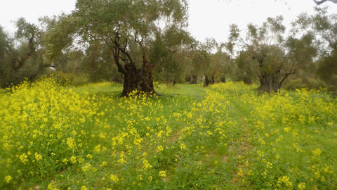 ancient olive trees under the rain, green grass in winter and rape flowers Footage